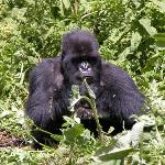 Gorilla in Susa Group