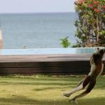 Sifaka jumping by pool