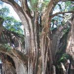 Foto de Tule Tree
