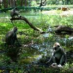 Langur monkeys in grounds