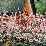 Ume (plum) flowers at Kitano Jingu Shrine