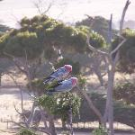 Galahs in the trees just outside the window