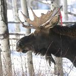 A young moose dined on some bushes right off the back porch of the inn.