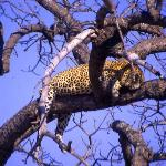 Leopard sleeps while keeping his lunch safe