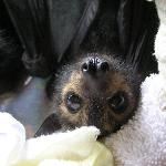 A young orphaned flying fox (fruit bat).