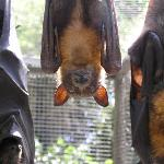 Adult flying foxes at BatReach.