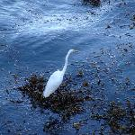 Egret Fishing in January