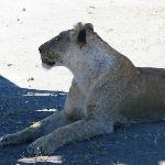 Lioness in Crater