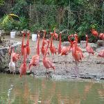 many flamingos