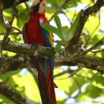 Scarlet Macaw at Casa Corcovado
