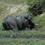 Elephant mudding outside our chalet