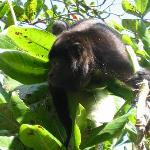 howler monkey in tree outside hotel