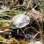 A lake turtle - terrapin