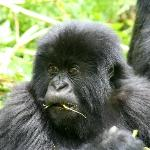 Baby Gorilla of the susa family in Rwanda