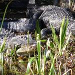 Pair of Alligators