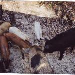 Pig Feeding Frenzy