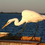 A Great Egret at Sunset, on the Sanibel fishing pier