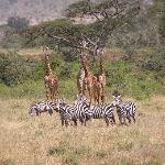 Mixed herd of zebra and giraffe