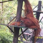 Male orangutan lounging about