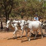 #1 son learning how to drive an ox cart at
