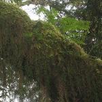 Hoh Rain Forest Photo