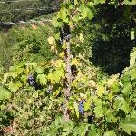 Grapes on the vine at a local Placerville Winery