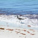Shorebird and red algae on the beach