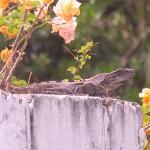 Iguana in Garden