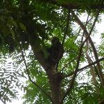 Monkey in a tree at the resort