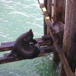Sea Lions living under the Santa Cruz pier.