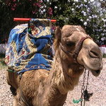 Dromedary as a tourist atraction in Agadir