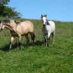 Yearlings, Amber and Ruby.