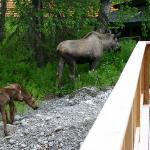 moose at our deck