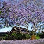 Jacaranda tree at the Kula Lodge