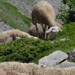 Sheep along the hiking trail.