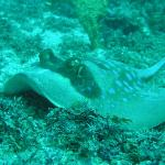 scuba diving- sting ray