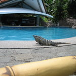 Iguana that lives by the pool!