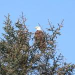 Daily bald eagles outside our room