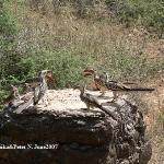 Hornbills at the lodge