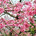 cherry blossom, Yang Ming Shan, Taipei