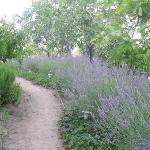 Lavander-lined path to our cottage