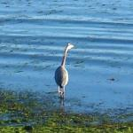 Heron - right there!