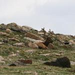 Elk on the way down from Alpine Visitor Center