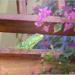 The largest of the iguanas living on the property
