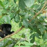 Howler Monkey seen from dining room