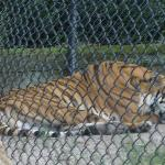 Very big Tiger!