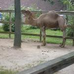 Another Camel