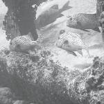 Harlequin sweetlips at Malayan Wreck