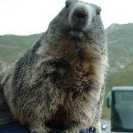 Pet Marmot en route to Grossglockner