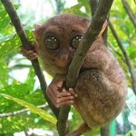 Once the smallest primate: the endangered Tarsier